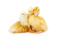 A Duck Gives Birth To A Chicken Through Genetic Engineering!